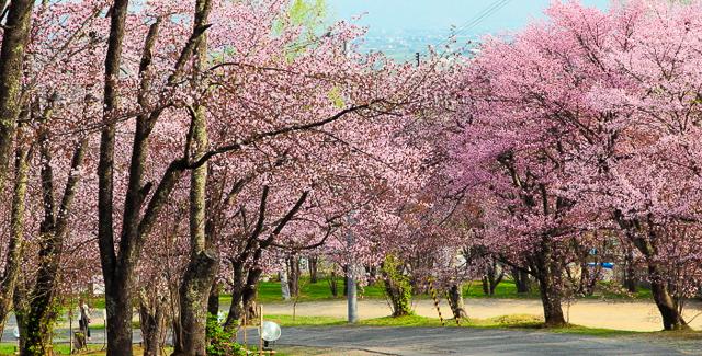 旭山公園の花見